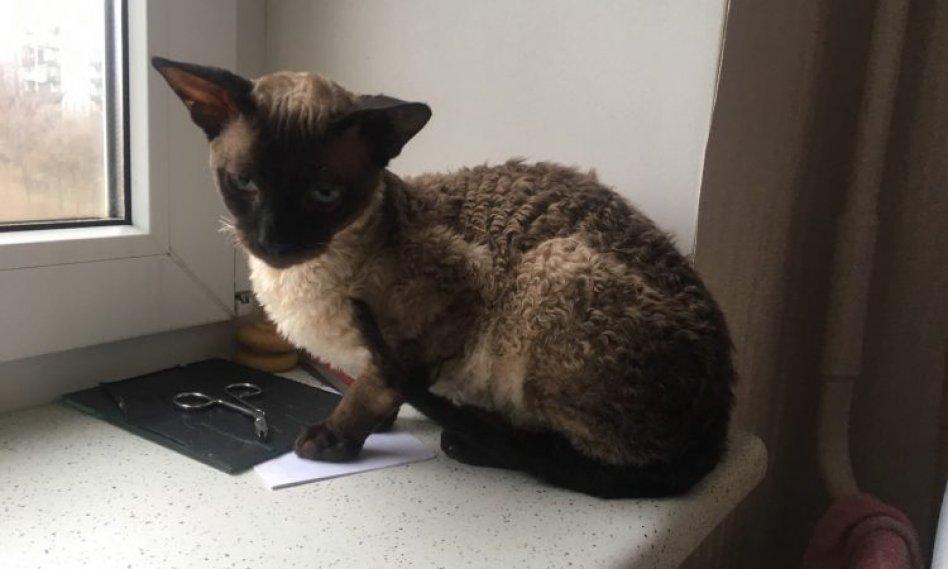 кудрявый котик корниш-рекс